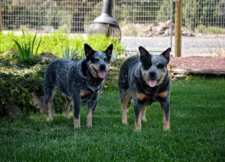 Lakota Australian Cattle Dogs, Central Oregon Cattle Dog
